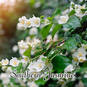 Milkhouse Candles SOUTHERN JASMINE Wosk
